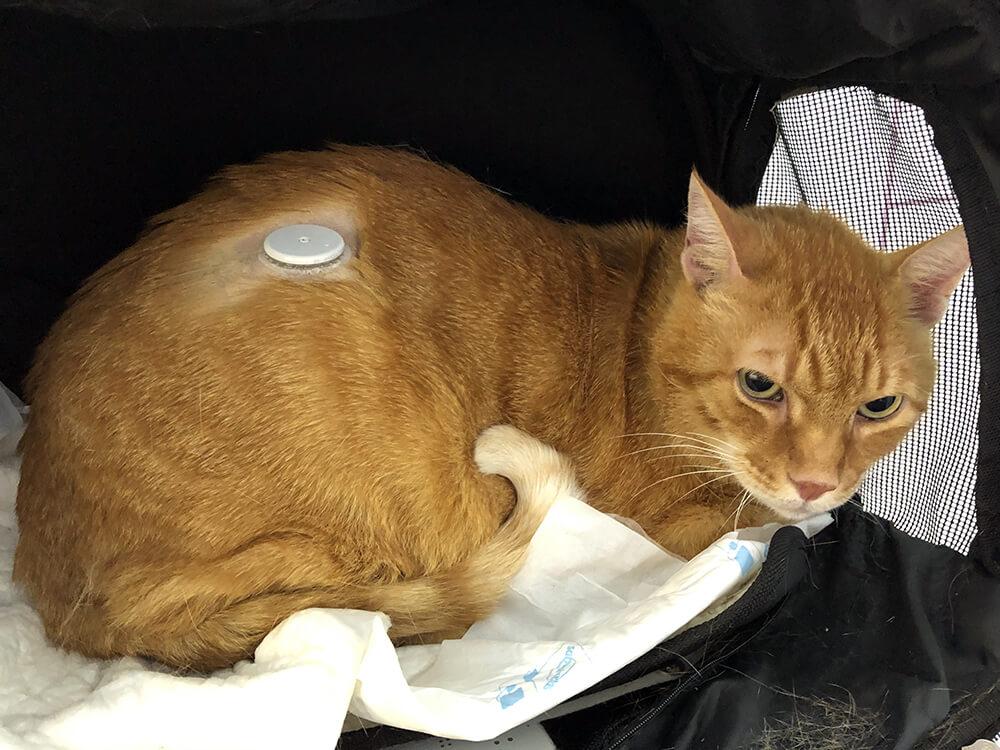 Uso del freestyle en gatos diabéticos