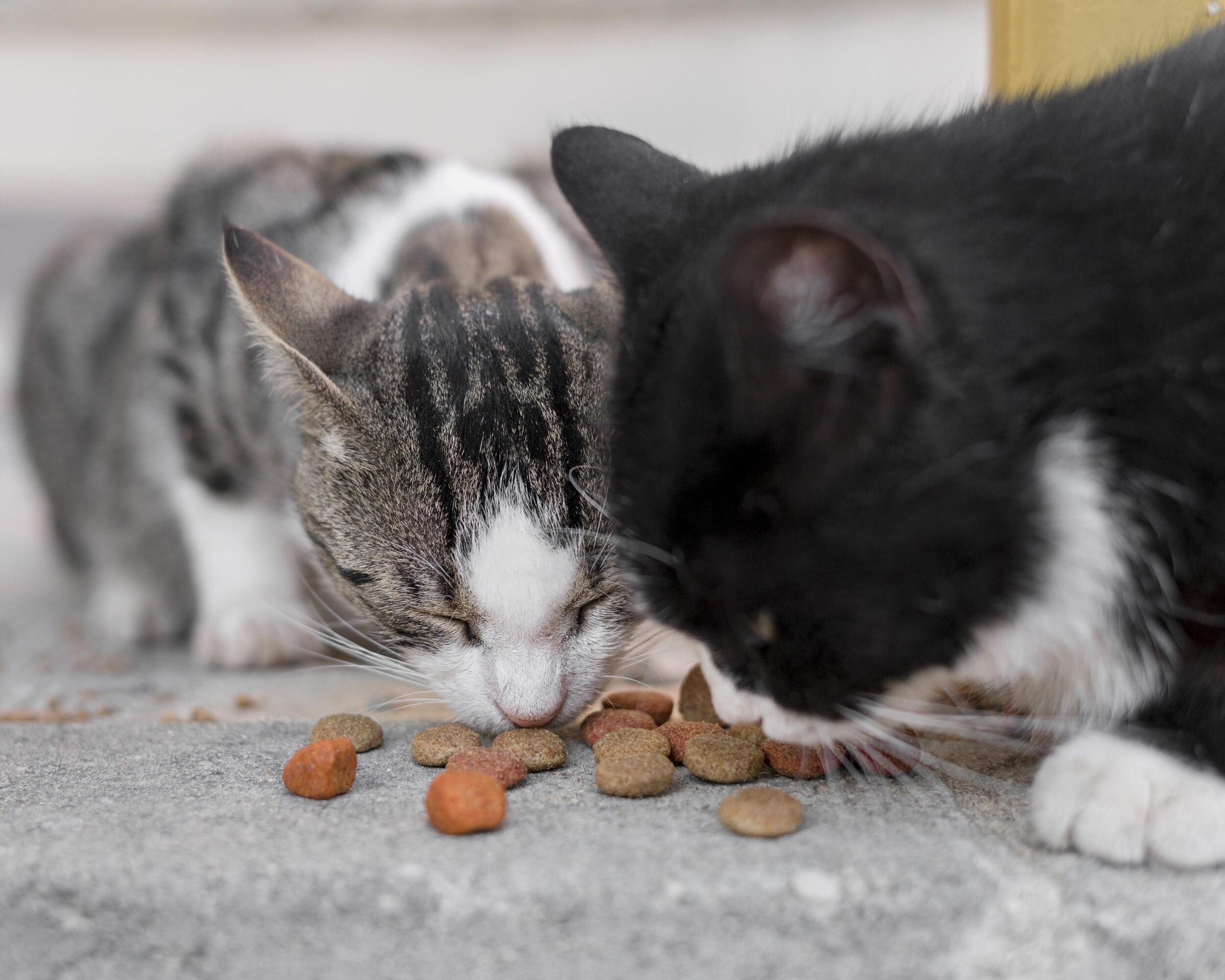 Anorexia en gatos, ¿cómo abordarlo cinicamente?